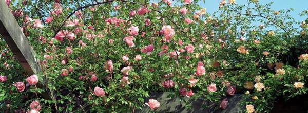 Rose In Bloom Photograph - Rose (tzigane). Floribunda Rose by Brian Gadsby/science Photo Library
