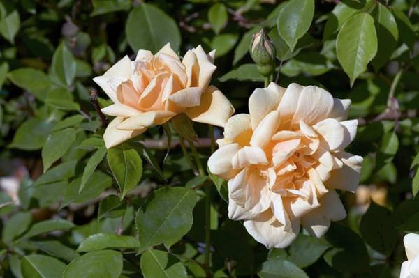 Rose In Bloom Photograph - Rose (word Welcome). Floribunda Rose by Brian Gadsby/science Photo Library