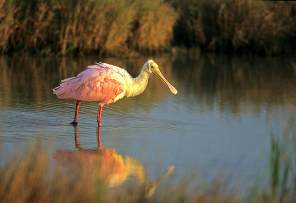 Hunting Island Photograph - Roseate Spoonbill (ajaia Ajika by Richard and Susan Day