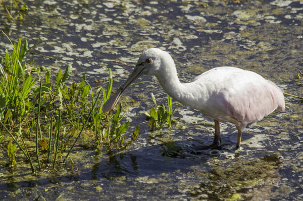 Photograph - Roseate Spoonbill II by Susan Molnar