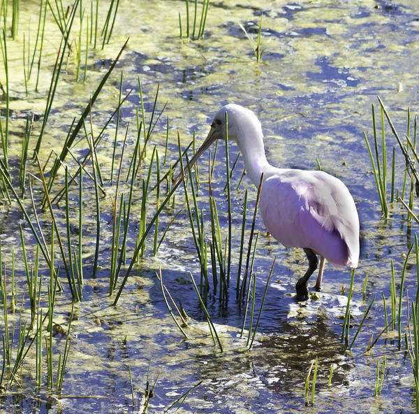 Photograph - Roseate Spoonbill IIi by Susan Molnar