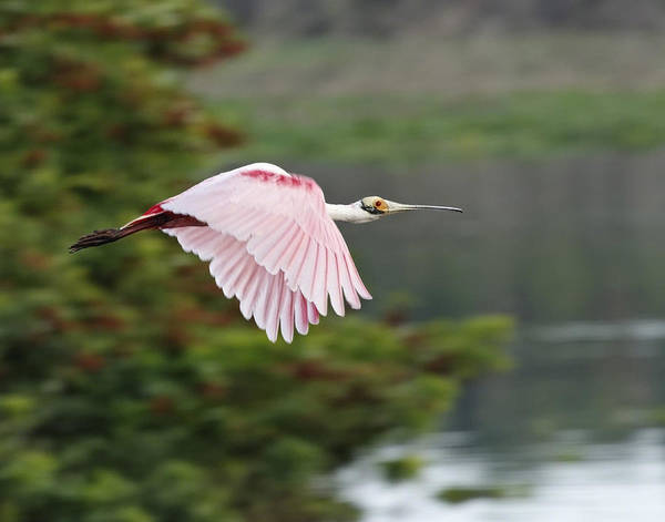 Roseate Spoonbill In Flight Art Print