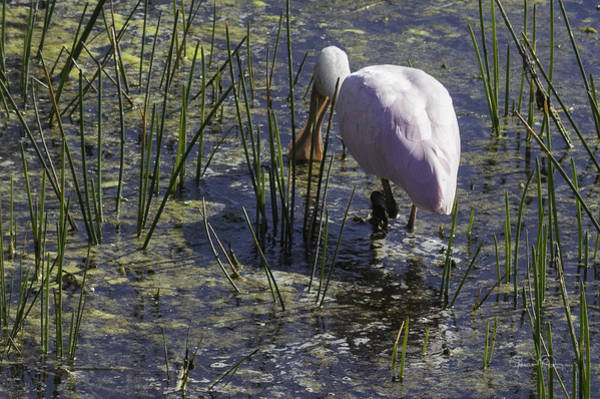 Photograph - Roseate Spoonbill Iv by Susan Molnar