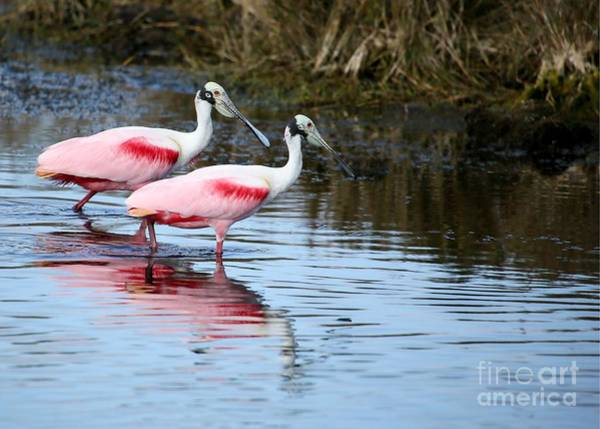 Photograph - Roseate Spoonbill Mates by Sabrina L Ryan