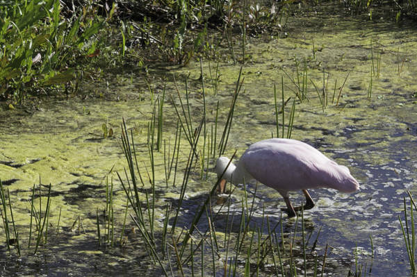 Photograph - Roseate Spoonbill V by Susan Molnar