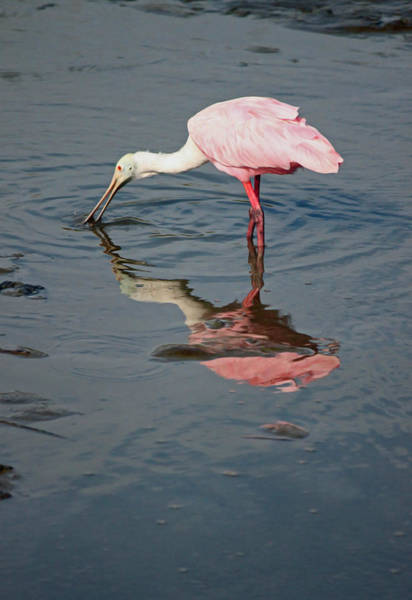 Wall Art - Photograph - Roseate Spoonbill Vii by Suzanne Gaff