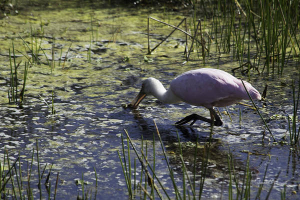 Photograph - Roseate Spoonbill Viii by Susan Molnar