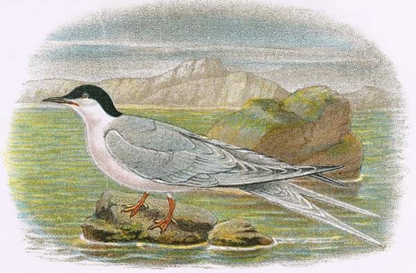 Ornithology Photograph - Roseate Tern by English School