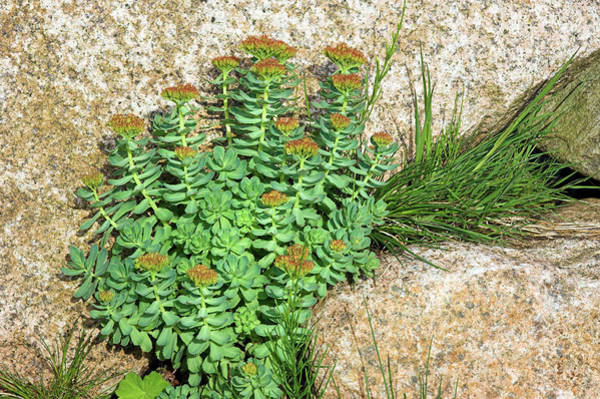 Crevice Photograph - Roseroot (sedum Rosea) by Duncan Shaw/science Photo Library