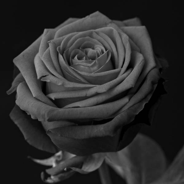 Photograph - Roses Are Red by Miguel Winterpacht