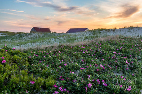 Photograph - Roses At Race Point Beach by Susan Cole Kelly