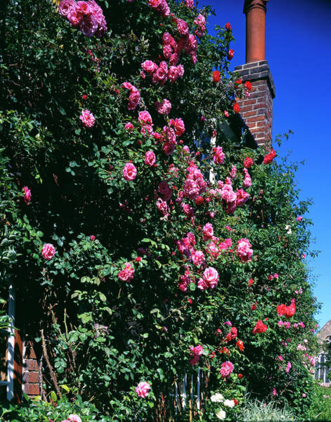 Climbing Plants Photograph - Roses Climbing A Cottage Wall by Andy Williams/science Photo Library