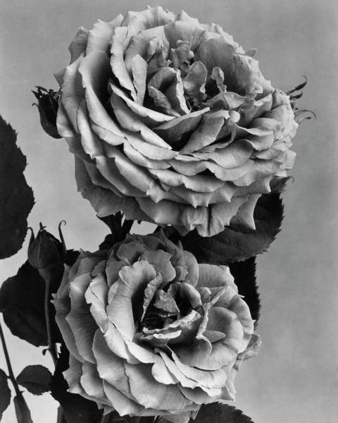 Flower Photograph - Roses by J. Horace McFarland