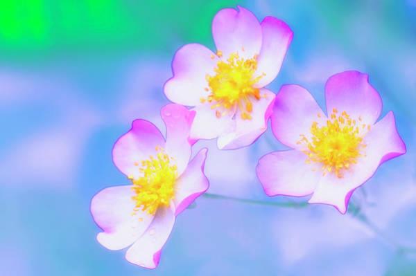 Hybrid Rose Photograph - Roses (rosa Hybrid) by Maria Mosolova/science Photo Library