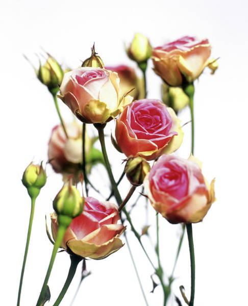 Wall Art - Photograph - Roses (rosa 'mini Eden') by Derek Lomas / Science Photo Library