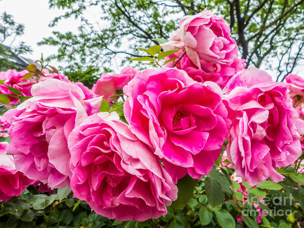 Photograph - Roses by Susan Cole Kelly