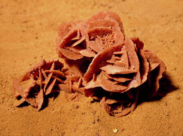 Desert Rose Photograph - Rosette-shaped Gypsum Known As A Desert Rose by Martin Land/science Photo Library