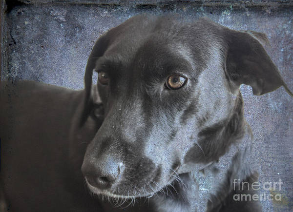 Wall Art - Photograph - Rosie Sweet Labrador by Janice Pariza