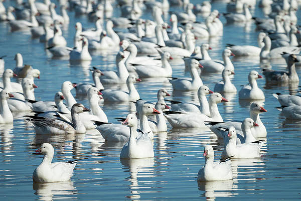 Anatidae Wall Art - Photograph - Ross's And Snow Geese In Freshwater by Maresa Pryor