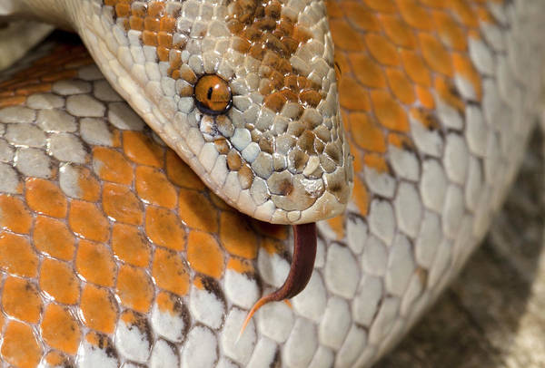 Rosy Photograph - Rosy Boa Head by Nigel Downer