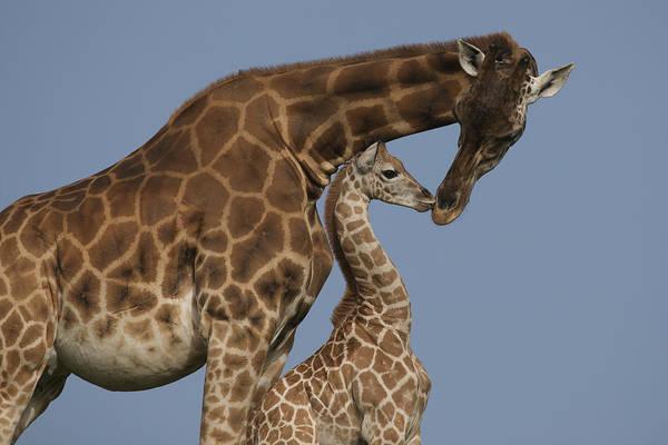 Photograph - Rothschild Giraffe And Calf Nuzzling by Zssd
