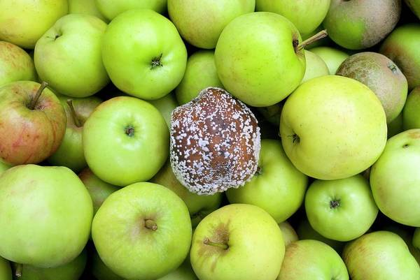 Malus Photograph - Rotten Apple by Tony Craddock/science Photo Library