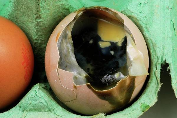 Wall Art - Photograph - Rotten Egg by Cordelia Molloy/science Photo Library