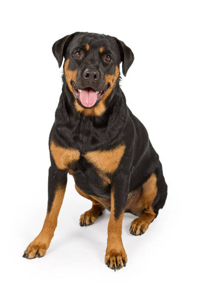 Dog Watch Photograph - Rottweiler Dog Isolated On White by Susan Schmitz