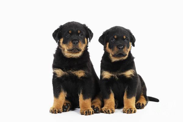 Photograph - Rottweiler Puppy Dogs by John Daniels