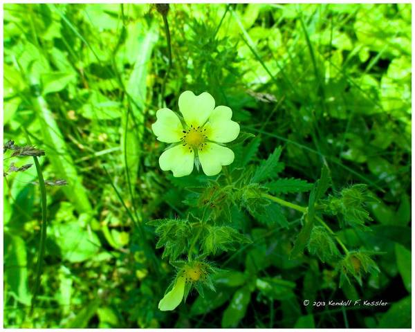 Photograph - Rough Cinquefoil Spotlight by Kendall Kessler
