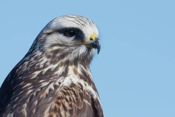 Wall Art - Photograph - Rough-legged Hawk Close-up by Ken Archer