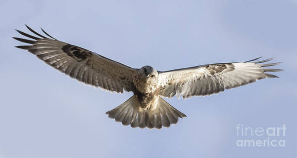 Photograph - Rough-legged Hawk Coming Right At You by Ricky L Jones