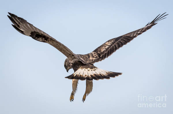 Photograph - Rough-legged Hawk Hovers For The Kill by Ricky L Jones