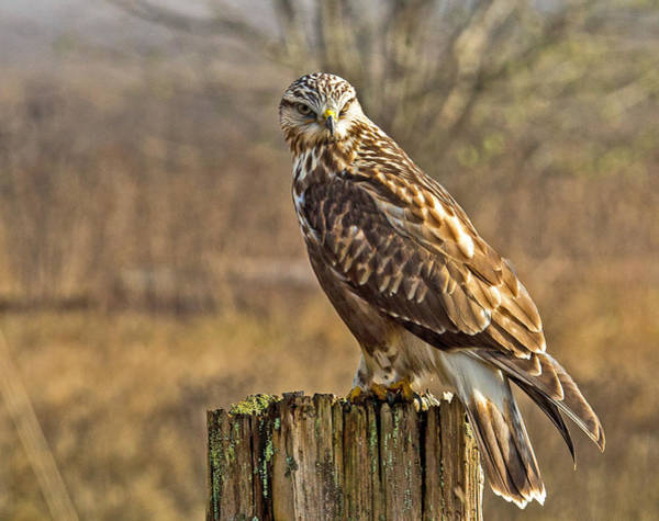 Photograph - Rough-legged Hawk by Randy Hall