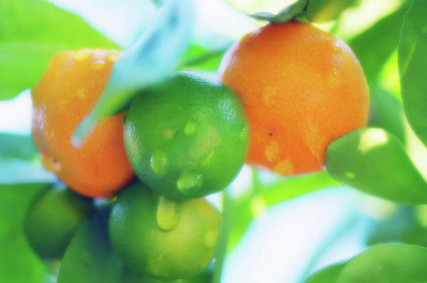 Japonica Photograph - Round Kumquat (fortunella Japonica) by Maria Mosolova/science Photo Library