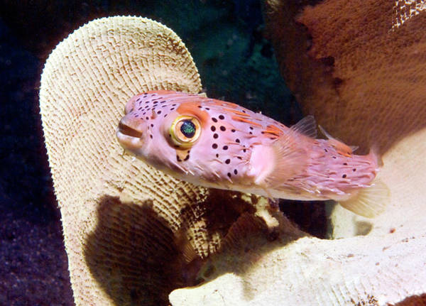 Balloonfish Photograph - Round Spotted Porcupinefish by Peter Scoones/science Photo Library