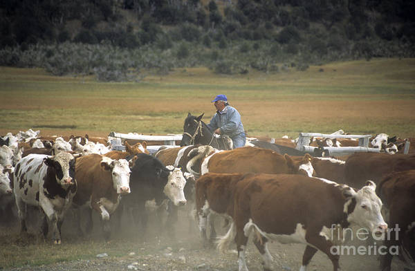 Photograph - Cattle Round Up Patagonia by James Brunker