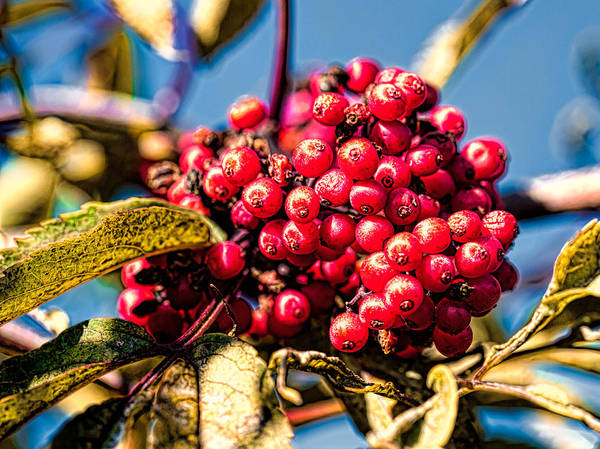 End Of Summer Photograph - Rowan Berries by Leif Sohlman