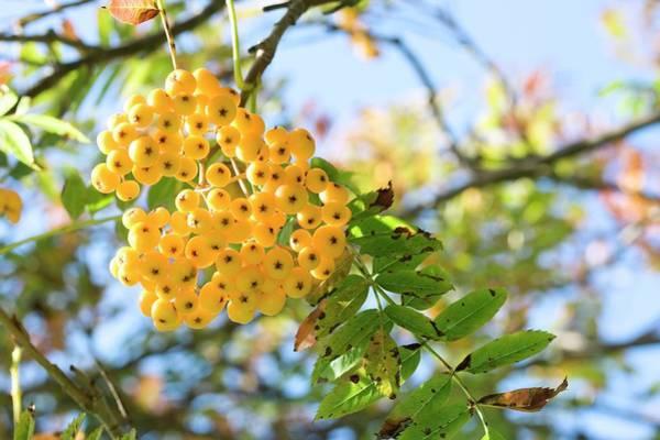 Rowan Photograph - Rowan Berries (sorbus Rehderiana) by Dan Sams/science Photo Library