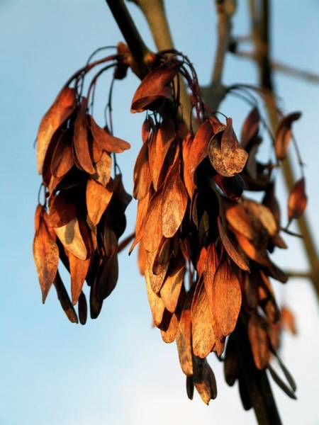 Rowan Photograph - Rowan Seeds (sorbus Aucuparia) by Ian Gowland/science Photo Library