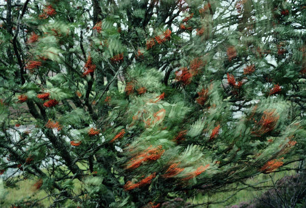 Rowan Photograph - Rowan Tree by Duncan Shaw/science Photo Library