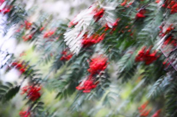 Rowan Photograph - Rowan Tree Under The Silver Rain. Impressionism by Jenny Rainbow