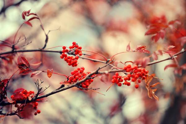Rowan Photograph - Rowan Tree With Berries by Jenny Rainbow