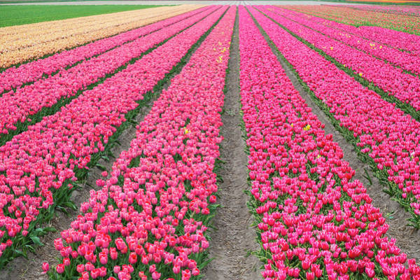 Keukenhof Wall Art - Photograph - Rows Of Bright Pink Tulips In A Field by Jason Langley