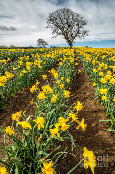 Daffodils Photograph - Rows Of Daffodils by Adrian Evans