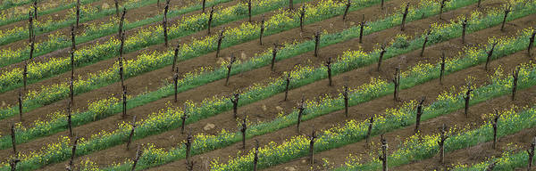 Wall Art - Photograph - Rows Of Grape Vines With Mustard by Panoramic Images