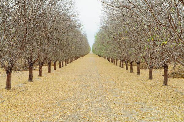 San Joaquin Valley Photograph - Rows Of Pistachio Trees, San Joaquin by Mint Images - Paul Edmondson