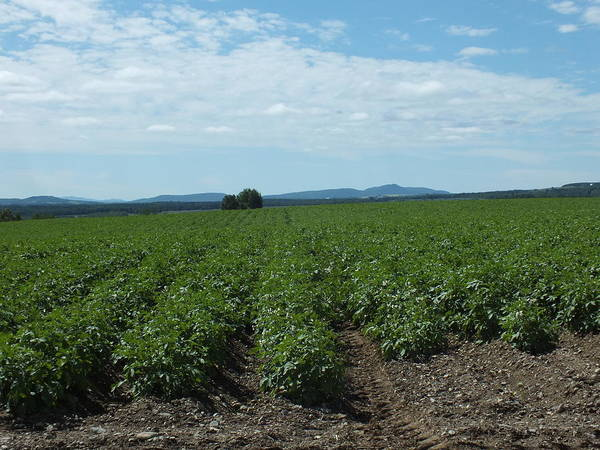 Aroostook County Photograph - Rows Of Potatoes by Gene Cyr