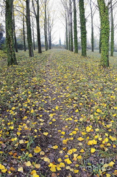 Wall Art - Photograph - Rows Of Trees With Yellow Leaves And Ivy At Fall by Sami Sarkis