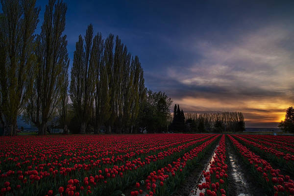 Wall Art - Photograph - Rows Of Tulips And Tall Trees by Mike Reid